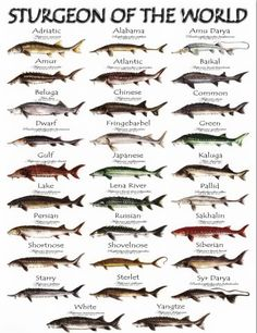 Really Cool Picture showing all the Sturgeon of the World!