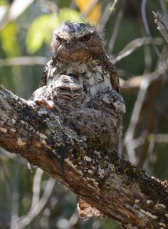 Hodgson's Frogmouth (Batrachostomus hodgsoni) A male with two chicks on the nest.