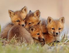 Fox cubs cuddle up together to stay warm after sunset. By Lise De Serres at Boucherville, Quebec.