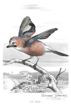 The Eurasian jay (Garrulus glandarius) is a passerine bird in the family Corvidae. It is seen here stretching its wings and about to fly off a branch