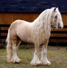 Gypsy Vanner Stallion Romeo