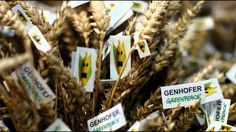 Genetically Modified Wheat Crop Fails to Repel Bugs,  Branded a Huge Waste Won't Kill Bugs, but People?