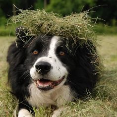 A roll in the hay. - Border Collie at play. I Love Dogs, Cute Dogs, Farm Animals, Cute Animals, Happy Animals, Sheep Farm, Australian Shepherd, Mans Best Friend, Dog Life