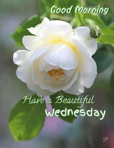 Amazing Flowers, Beautiful Roses, White Flowers, Beautiful Flowers, All Plants, Growing Plants, Beautiful Morning Pictures, Rose Care, Rosa Rose