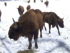 bison reservation Vama Buzaului, Brasov Romania