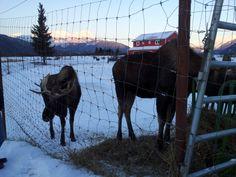 Moose @ Alaska Wildlife Conservation Center