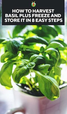 How to Harvest Basil Plus Freeze and Store it in 8 Easy Steps