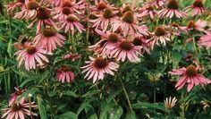 Cinq vivaces qui fleurissent tout l'été