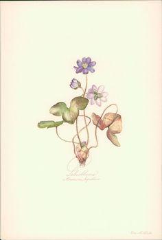 Leberblume - Anemone hepatica. Druck nach Aquarell von Elsa M. Felsko. Offsetdru