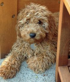 Ginger the Poodle Mix -- Dog Breed: Cocker Spaniel / Poodle