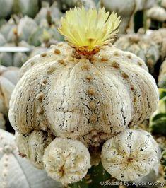 Astrophytum asterias cv. Alpus