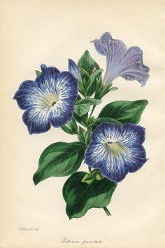 Nuttallia from Paxton Magazine Botany Antique Prints 1834 Petunia Tattoo, Vintage Botanical Prints, Botanical Drawings, Botanical Art, Art And Illustration, Azulejos Art Nouveau, Petunia Flower, Flower Quilts, Vintage Flowers