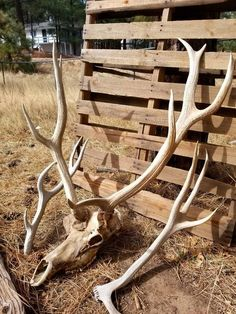 c820126de05ac3 Real Bull Elk Skull, Real Elk Antlers, Taxidermy Mount, FREE SHIPPING,  Vintage Decor, Home Decor, Lo