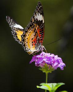 Malay Lacewing On A Flower by Saija Lehtonen