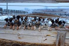CATTLE DOG PUPS ALL IN A ROW!!!  :)