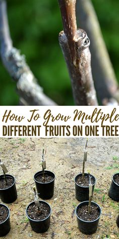 House Plant Maintenance Tips How To Grow Multiple Different Fruits On One Tree - Now Is The Time To Get Grafting Different Fruits To One Base Tree So You Can Have A Brilliant Variety Of Fruits From One Main Tree Sound Like Science Fiction But You Honestly Grafting Fruit Trees, Grafting Plants, Plant Propagation, Cuttings, Different Fruits, Variety Of Fruits, Farm Gardens, Small Gardens, Organic Gardening