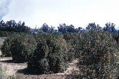 Orange Grove, Orange County   Flickr - Photo Sharing!