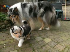 Collie Britt met puppie