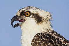 osprey bird photos | birds of prey 08 220px osprey mg 9605 osprey seeley osprey 652 600x450 ...