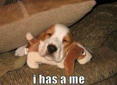 Cute Bassett hound puppy