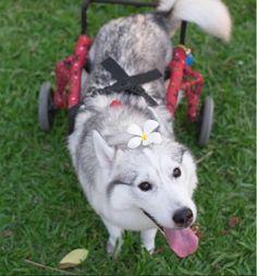 Maya, a cachorrinha de cadeira de rodas