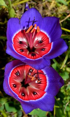 Carnival of color: 30 of the most incredible multi-colored flowers in the world-Geissorhiza radians