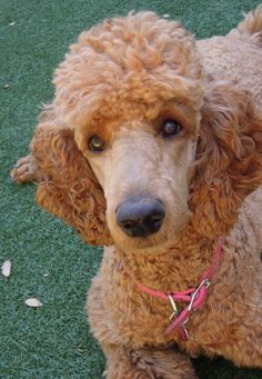 lighter red standard poodle, I really like this color