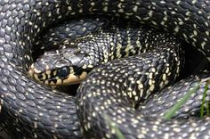 French wildlife and beekeeping: Snakes and their names in France