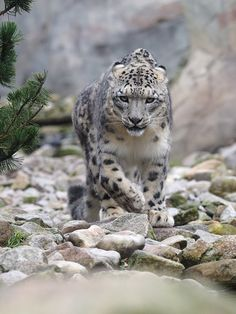 Second picture in a row of the mother snow leopard walking towards me! Snow Leopard Tattoo, Leopard Tattoos, Animals And Pets, Baby Animals, Cute Animals, Big Cats, Cool Cats, Beautiful Cats, Animals Beautiful