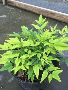If you love Nandina plants but don't want, or like, the red variety, this exquisite Lemon Lime Nandina is exactly what you've been looking for. The new foliage that grows from your lovely Lemon Lime Nandina is a pleasant lime green that fades into a gorgeous darker green over time, and it even stays Nandina Plant, Lemon Lime Nandina, Groomsmen Proposal, Porch Decorating, Garden Beds, Evergreen, Bloom, Thing 1, Herbs