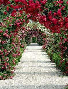 . Climbing rose row