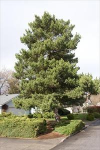 Shore Pine - Pinus contorta 'Contorta' - PNW Plants