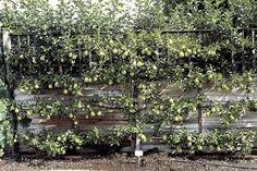 espalier quince ile ilgili görsel sonucu