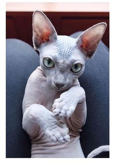 sphynx cat Being that hairless cats can get colder quicker than furry felines, it s that their metabolisms work a little faster. That means hairless cats often chow down larger meal portions. Hairless Cat Kittens, Cute Cats And Kittens, I Love Cats, Crazy Cats, Cool Cats, Siamese Cats, Gato Sphinx, Photo Chat, Tier Fotos