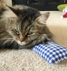 Tabby Silvervine Pillow Tuesday