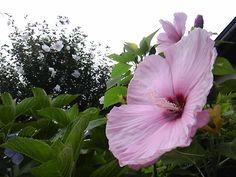 Swamp pink rose mallows
