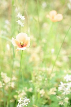 poppy #flowers #nature #photography
