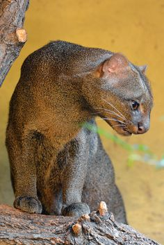 Jaguarundi of Wezelkat (Puma yaguaroundi) Zoo Krefeld, Krefeld, Germany Conservation status: Least concern - cakerecipespins.)- they are also the missing link between the cougar and the cheetah- Unusual Animals, Rare Animals, Animals And Pets, Beautiful Cats, Animals Beautiful, Cats And Kittens, Big Cats, Small Wild Cats, Gato Grande