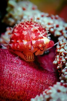 Cowrie Photo by nicolas.terry   Nelson Bay, New South Wales, AU.