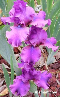 Pure Sultry Mood Tall Bearded Iris