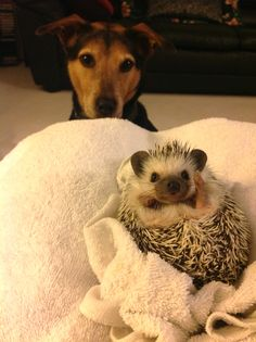 This is my adorable hedgehog and jealous puppy ;)