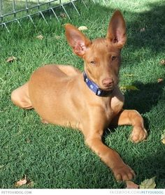 Pharaoh Hound is front Pharaoh Hound in the yard.