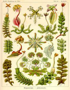 Vintage Ernst Haeckel Plate 82 Hepaticae