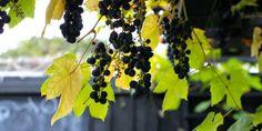 BESKÆRING AF VIN - Trim the garden wine before january