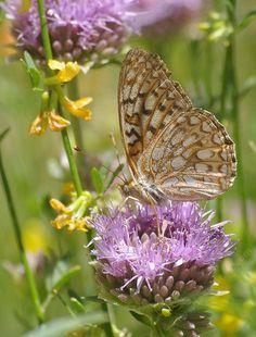 A Callippe Fritillary Butterfly, Speyeria callippe on a Monardella antonina: Butterfly Mint Bush