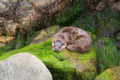 An otter on Shetland. Image by Mark Hamblin / Oxford Scientific / Getty