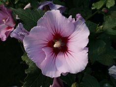 Bildergebnis für hibiscus pink