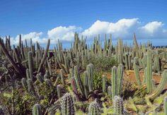 Auf, in die Karibik: Curacao - Roadtrippin' Cactus Plants, Strand, Vineyard, Outdoor, Cacti, Caribbean, Island, Outdoors, Vine Yard