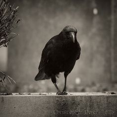 Corvids at Large by Christopher Mark Perez, via Flickr