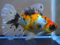 Bristol shubunkin Shubunkin Goldfish, Comet Goldfish, Golden Fish, Freshwater Fish, Fish Tank, Betta, Bristol, Koi, Fresh Water